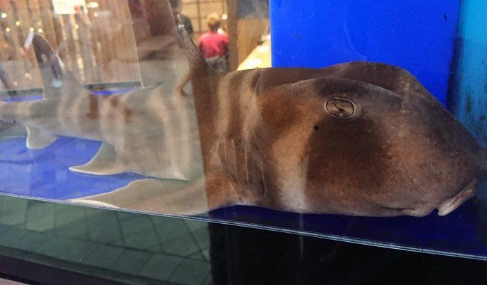 浅草の新仲見世通りにいるネコザメ
