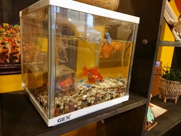 バインミーシンチャオの金魚