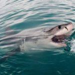【日常】巨大ホホジロザメのニュース