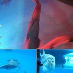 八景島シーパラダイスのミツクリザメ
