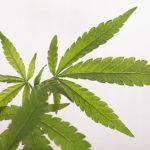 【日常】有名人が大麻で逮捕されるたびに出てくる大麻解禁の主張